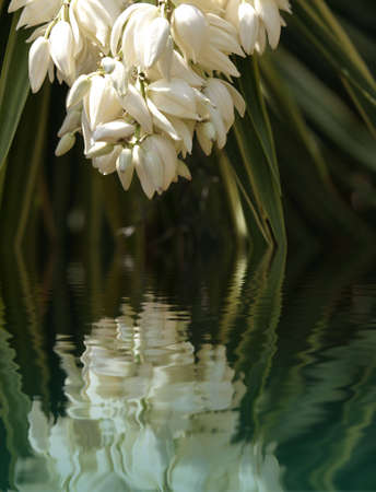 White flower of a blooming yucca hanging over water with green leaves in the background
