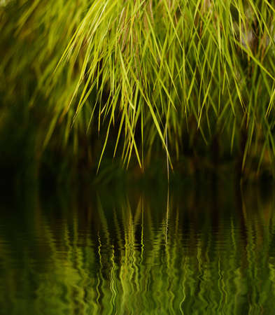 Green grass-like tree foliage hanging over water Stock Photo