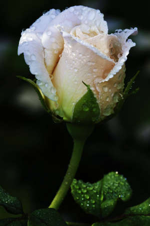 A pink rose covered with water drops