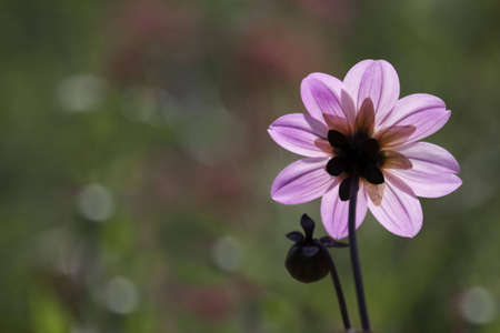 A pink and purple backlit flower with a blurred background and a small bud on the left