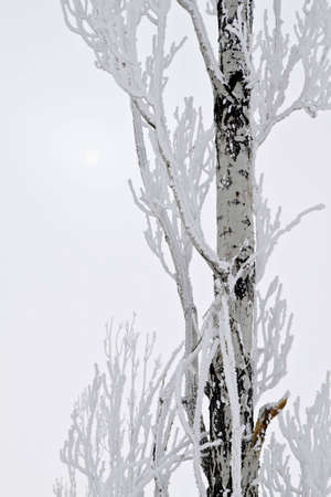 Snow covered tree with the sun peeking from the cloud layer