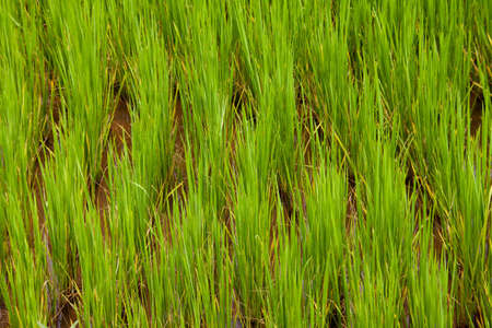 A closeup of bright green rice growing in a field