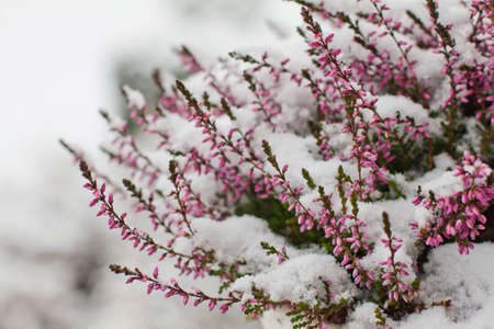 After an unexpected and early snow storm, flowers in a garden are completely covered in snow photo