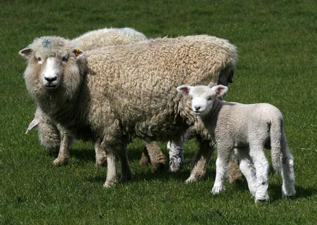 Schaf mit Lamm auf frischen gr�nen Wiese  Stockfoto - 2537878