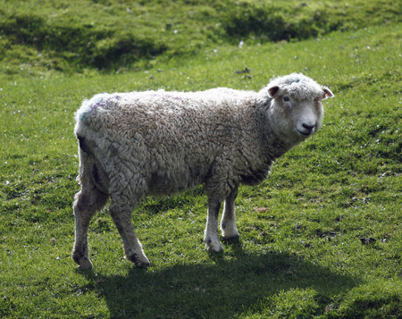 sheep with lamb on fresh green meadow photo