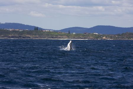 forster: Humpback whale breaching in Australia Stock Photo
