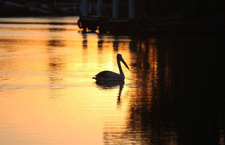 forster: Pelican on water