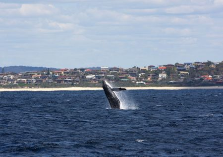 forster:  Humpback whale breaching in Australia