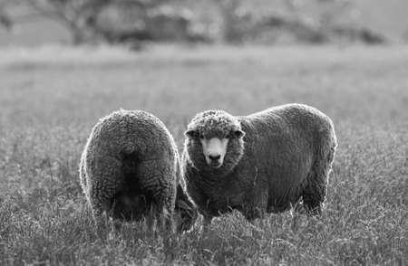 ovine: australian sheep