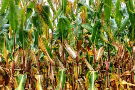 Corn in summer time, Ontario, Canada region photo