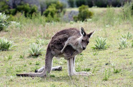tidbinbilla: Australian Grey Kangaroo in the Tidbinbilla Nature Reserve, Canberra