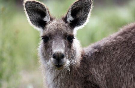Australian Grey Kangaroo in the Tidbinbilla Nature Reserve, Canberra photo