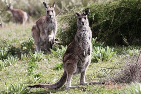Australian Grey Kangaroo in the Tidbinbilla Nature Reserve, Canberra Stock Photo - 3858430