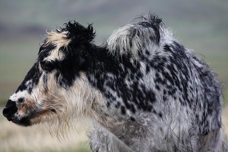 Mongolian herd animals on the open plain photo