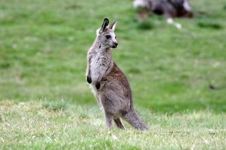 tidbinbilla: Australian Grey Kangaroo in the Snowy Mountains, Australia Stock Photo