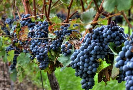 ナイアガラの滝の地域でワイン用のブドウを収穫