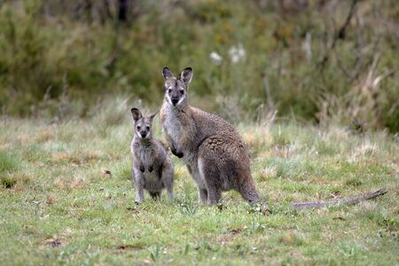 roaming: Australian Wallaby and joey, roaming free in the outback bush Stock Photo