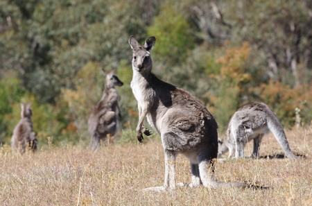 Australian Grey Kangaroo in the dry outback Stock Photo - 4570460