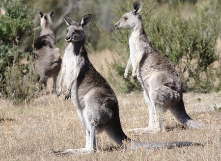 outback: Australian Grey Kangaroo in the dry outback