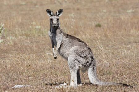 Australian Grey Kangaroo in the dry outback Stock Photo - 4570553