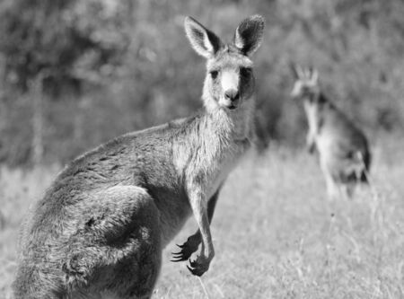 Australian Grey Kangaroo in the dry outback Stock Photo - 4570458