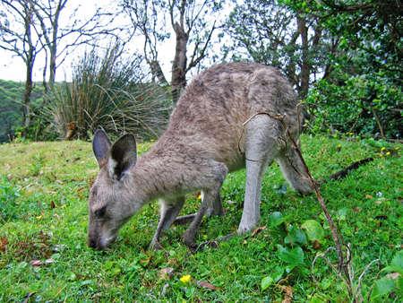 tidbinbilla: Australian Kangaroo, roaming free in the outback bush