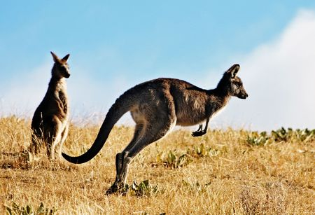 australian outback: Australian Kangaroo, roaming free in the outback bush