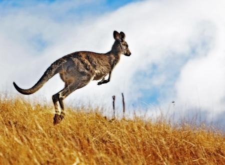 Canguro de Australia, libre de itinerancia en el interior del arbusto