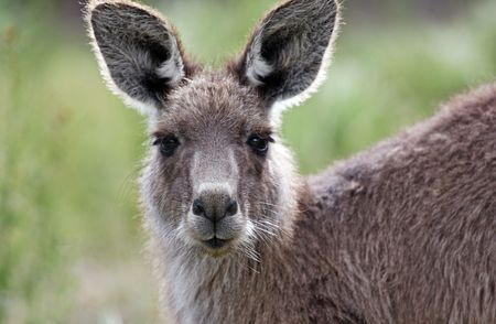 Australian Grey Kangaroo in the Tidbinbilla Nature Reserve, Canberra photo