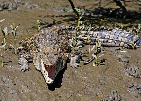Salt water crocodile in Australian outback photo