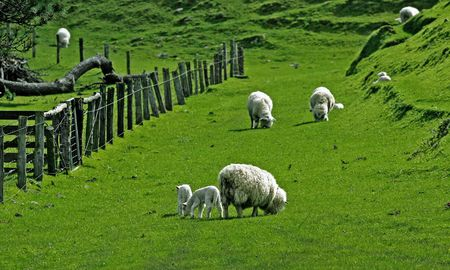 Sheep on green meadow Stock Photo - 5022783