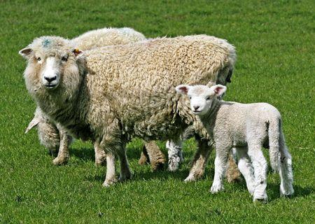 ewe: Sheep on green meadow