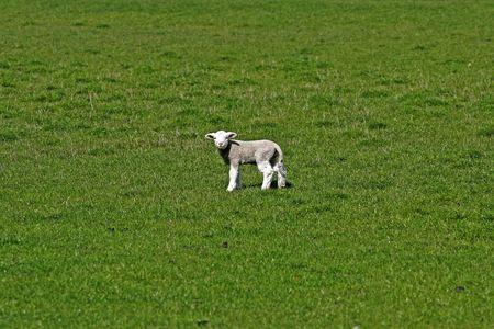 Sheep on green meadow photo