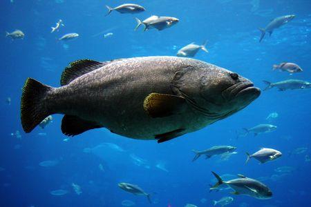 lanceolatus: giant grouper in an aquarium in atlanta