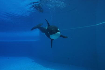 orca playing in a pool of blue water Stock Photo - 5615956