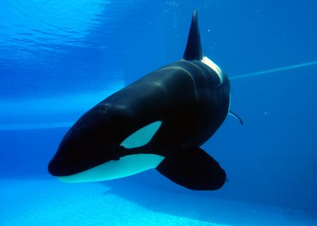 orca playing in a pool of blue water Stock Photo