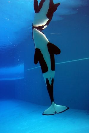 orca playing in a pool of blue water photo