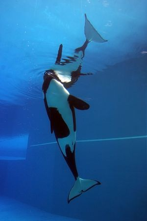 orca playing in a pool of blue water Stock Photo - 5615966