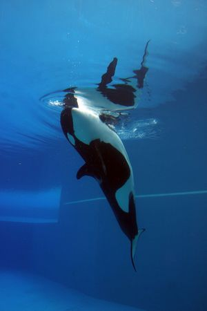 killer whale: orca playing in a pool of blue water Stock Photo