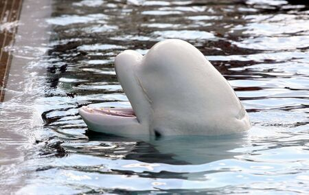 beluga whale playing in clear blue water  Stock Photo - 5615960