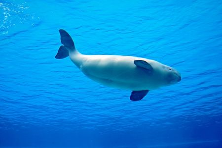 beluga whale playing in clear blue water  Stock Photo - 5615961