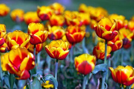 garden tulip during a flower festival Stock Photo - 5637413