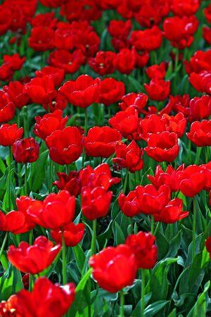 garden tulip during a flower festival Stock Photo - 5637416