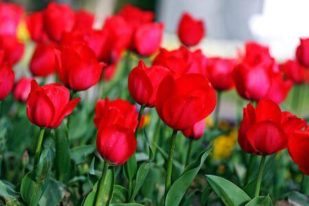 garden tulip during a flower festival