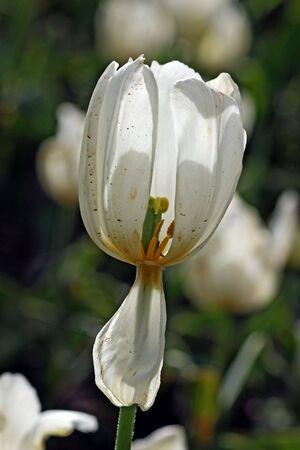 garden tulip during a flower festival Stock Photo - 5637409