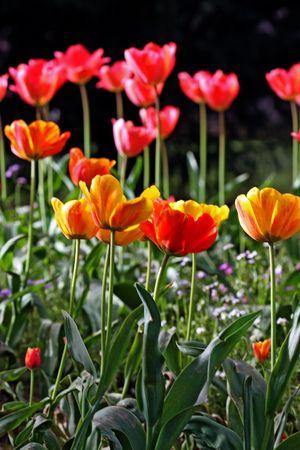 garden tulip during a flower festival Stock Photo - 5637417