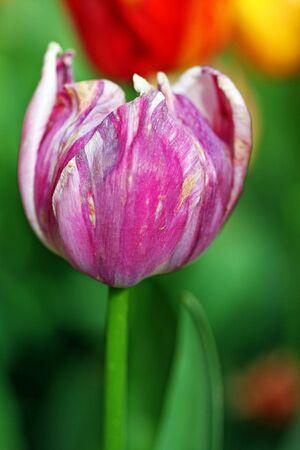 closeup of a colorful tulip in springtime