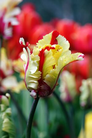 closeup of a colorful tulip in springtime photo