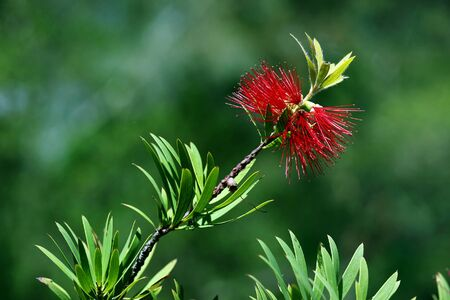 shurb: red bottlebrush in bloom in a nature
