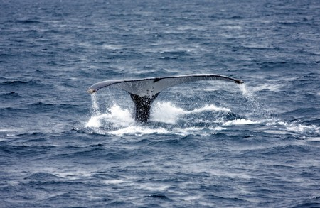humpback whale diving into blue water Stock Photo - 7173820